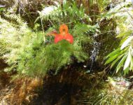 DISA UNIFLORA AT DU TOITS RIVER, FRANSCHHOEK
